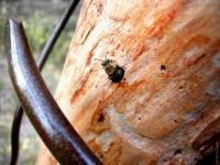 Arbre à Megachile
