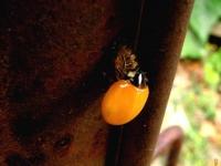 coccinella-7-punctata-1