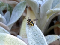 Abeille Anthidium florentinum