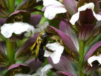 Abeille Xylocope sur Acanthe