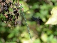 Calopterix Splendens