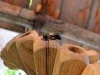 Mégachile sculpturalis dans Entomologe hélicoïdale
