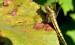 orthetrum-cancellatum-femelle-redimension