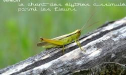 Affiche Chorthippus redim