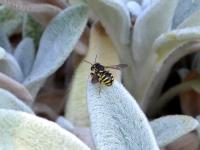 Abeille Anthidium florentinum
