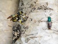 Leucopsis Gigas et Chrysis ignita