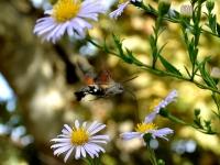 macroglossum-colibri