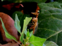 Mantispide