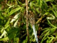 Orthetrum Cancellatum (mâle)